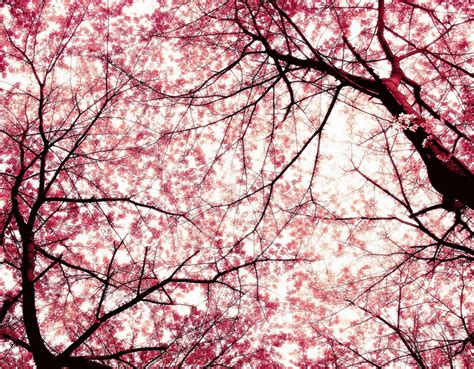 Cherry Blossom Backgrounds Wallpaper Cave Japanese Cherry Blossom Flower
