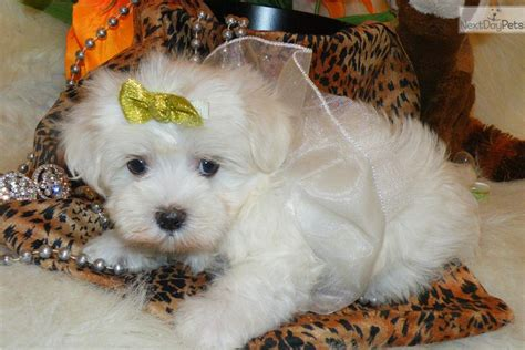 marshmello dog video meet marshmallow a cute maltese puppy for sale for 1 295