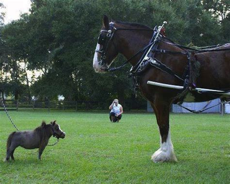 Miniatur Kuda Poni By Nicebags 1000 images about clydesdale horses on