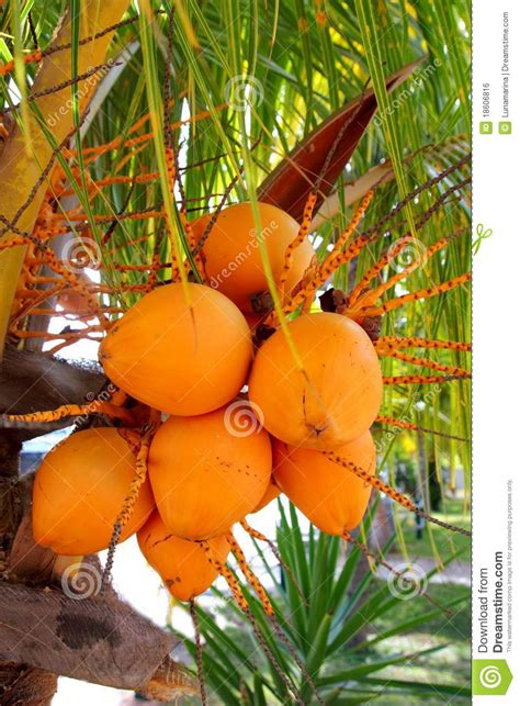 palm tree orange fruit coconuts in palm tree ripe yellow fruit royalty free stock