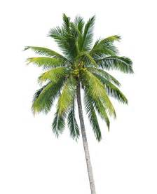 buy coconut palm trees eastern quay asset management holland