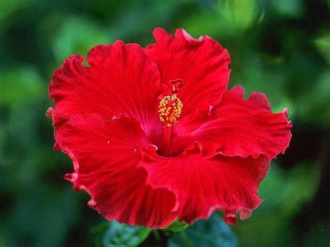 fiore ibiscus significato ibisco significato fiori
