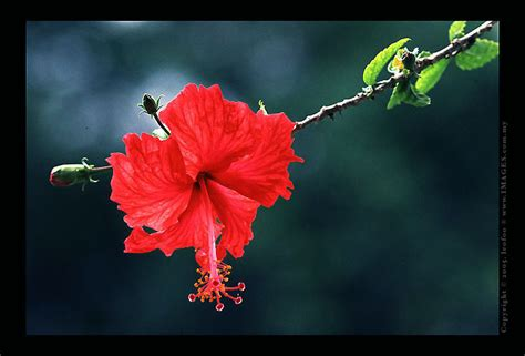 Kl Korean Wrapping Wrapping Bunga picture photos of national flower of malaysia hibiscus