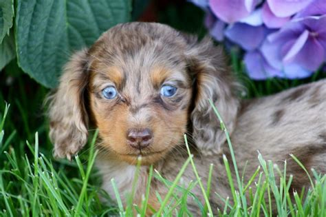 blue dachshund puppies blue dachshund blue and dachshunds breeds picture