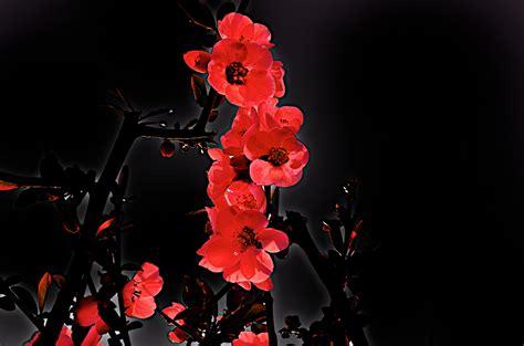 fiori di melo fiore di melo foto immagini piante fiori e funghi