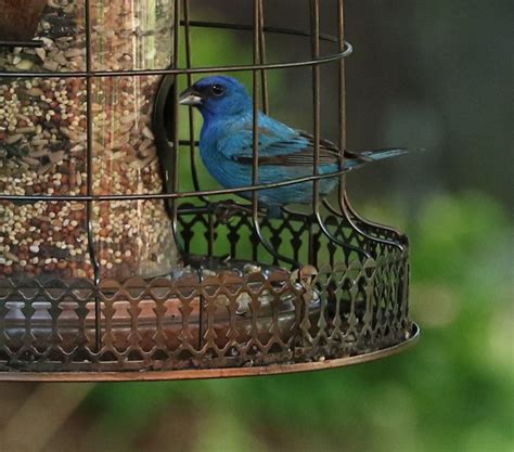 indigo bunting at feeder feederwatch
