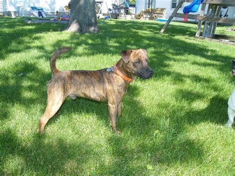 finished coyote dogs for sale newhairstylesformen2014 com july coyote hounds for sale finished coyote hounds for