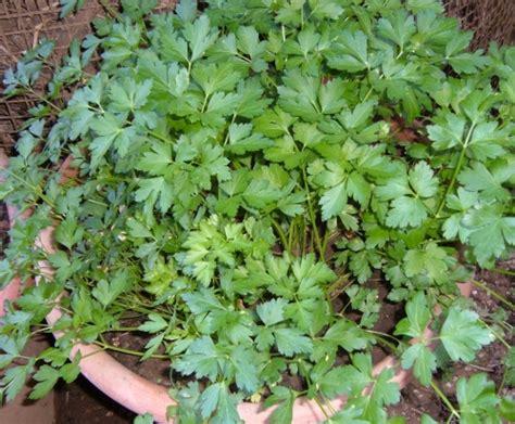 come coltivare il prezzemolo in vaso coltivare il prezzemolo in casa anche d inverno