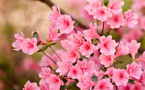 flower blossom wallpaper pink blossoms 8 wallpaper flower wallpapers 47559