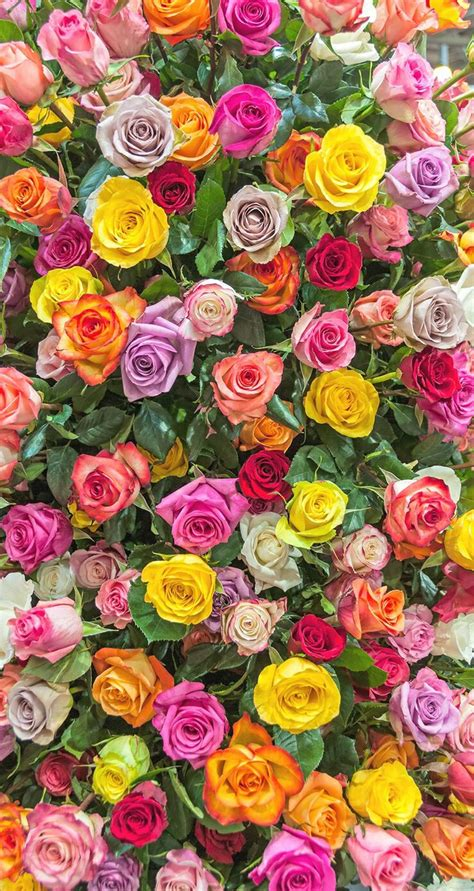 pink yellow lilac roses iphone wallpaper background phone