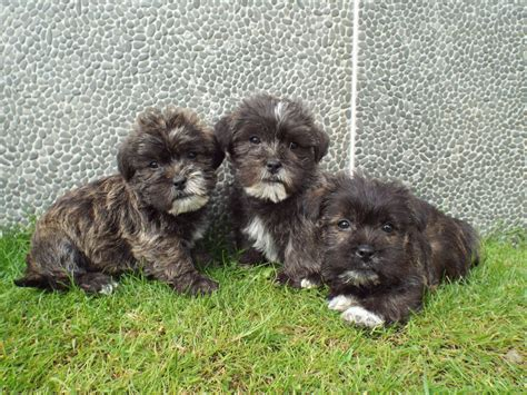 miniature schnauzer cross shih tzu puppies for sale shih tzu x miniature schnauzer puppies for sale llanelli carmarthenshire pets4homes