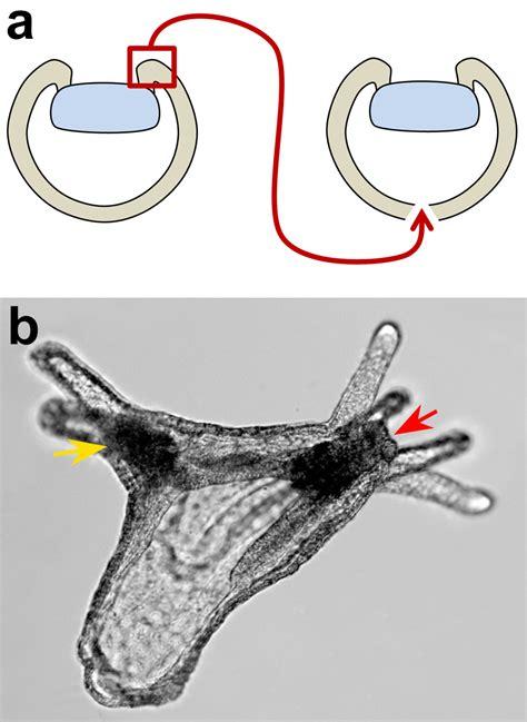 figure organizer the organizer of axes 600 million years