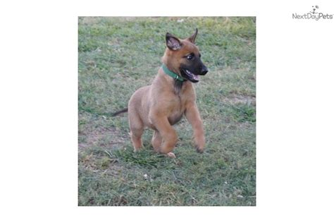 belgian malinois puppies for adoption adopt a belgian shepherd malinois find dogs for adoption breeds picture