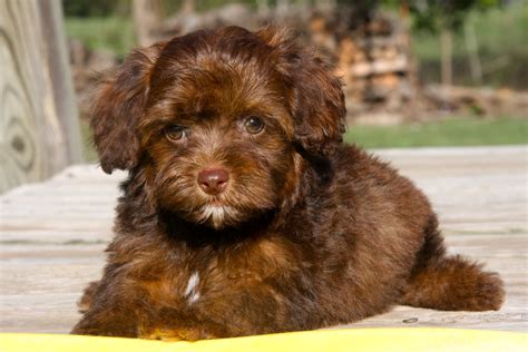 yorkie not yorkie poo puppies rescue pictures information temperament characteristics