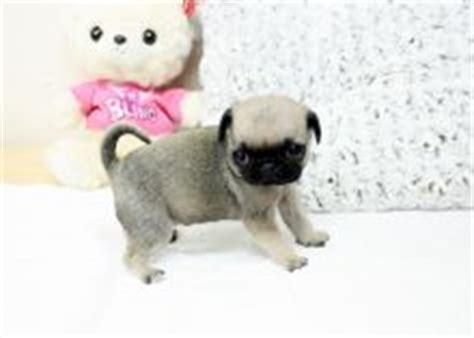 teacup pugs for free barrie dogs puppies for sale and wanted eclassifieds 4u barrie