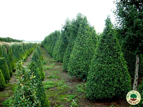 portuguese laurel topiary selection of specimen trees available practicality brown