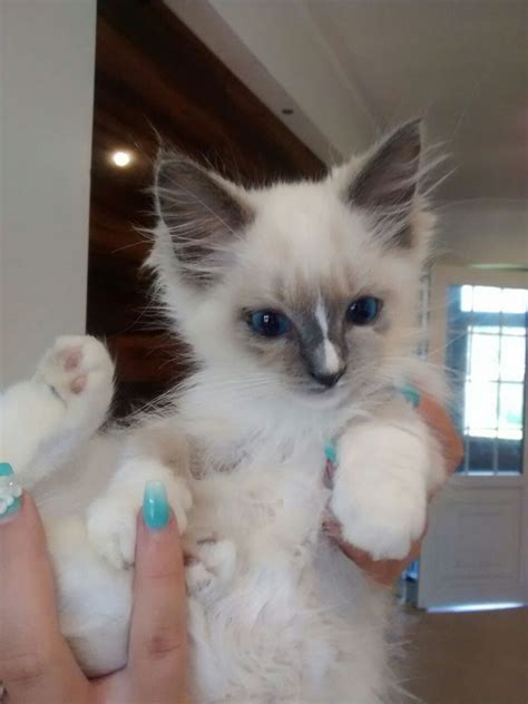 ragdoll cats for sale ragdoll kittens for sale doncaster south