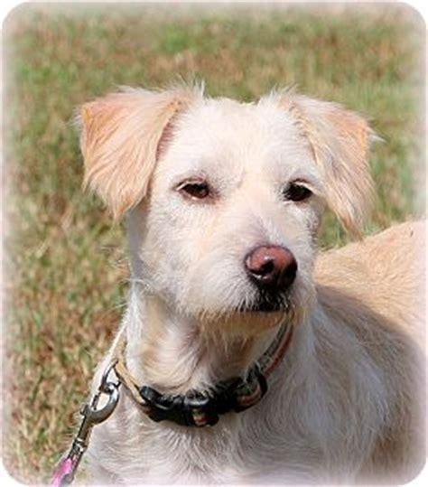 border terrier shih tzu mix glastonbury ct border terrier shih tzu mix meet shelby a for adoption