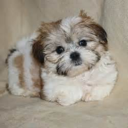 pictures of shorkie dogs with hair rules of the jungle shorkie puppies