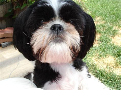 shih tzu puppies adoption black and white maltese shih tzu www pixshark