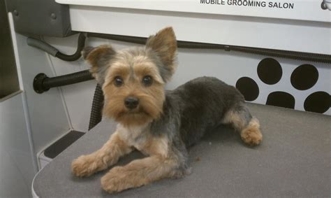 before and after pics of yorkie haircuts yorkshire grooming styles club doggie mobile grooming