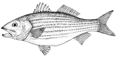 coloring pages rockfish striped bass coloring page sketch coloring page