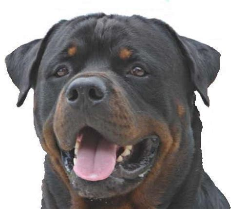 buy a rottweiler buy rottweiler puppies nz photo
