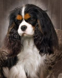 st charles cavalier puppies lovely st charles cavalier and dogs