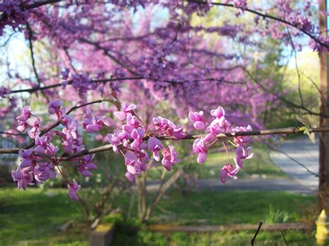 redbud tree tree of the week for may 12th may 19th 2013 cercis canadensis caffeine arts collective