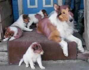 Pics photos collie rough lassie puppies pure bred