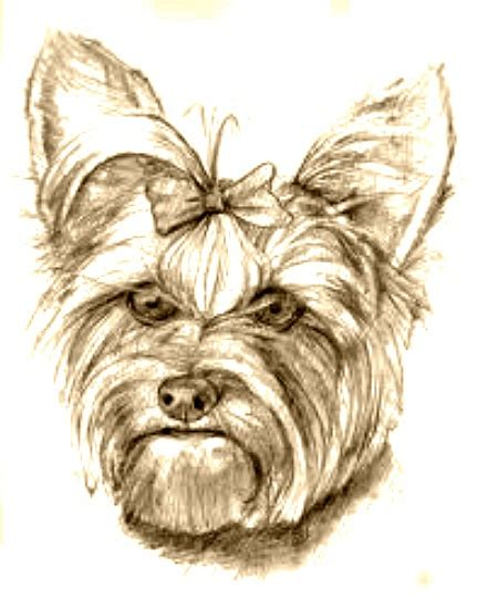 yorkie sketch 17 best images about yorkie in black and white on friend photos