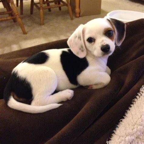 cheagle puppies is this chihuahua beagle cheagle the world s cutest mutt photos pocho