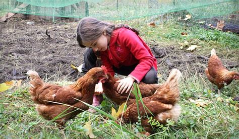 raising chickens for eggs in your backyard eartheasy blograising backyard chickens my 8 year old