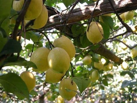 parassiti limone in vaso limone potatura piante da giardino potatura limone