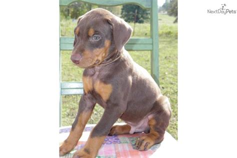 brown doberman puppies doberman pinscher puppy for sale near southern illinois illinois 98d88b74 1b71