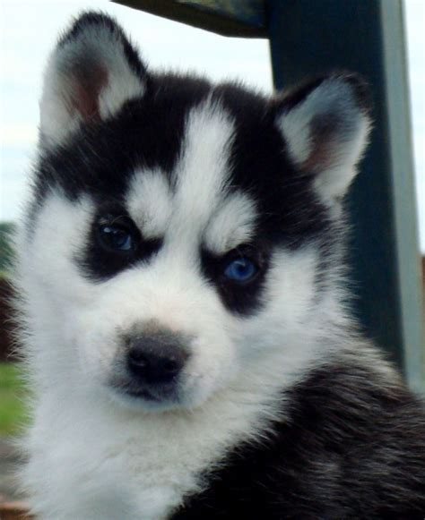 husky puppies colorado baby huskies with blue
