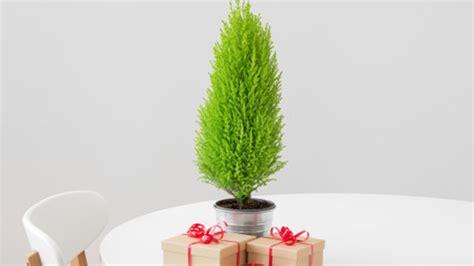 zimmerzypresse der alternative weihnachtsbaum