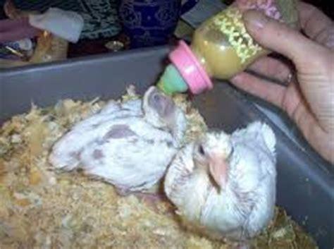 Pakan Burung Walet Yang Baik pakan burung merpati muda berkualitas situs burung