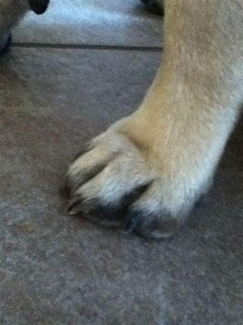 pug paws pug paw i am a pug a holic
