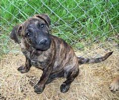 black cur puppies for sale in florida i found on black cur and