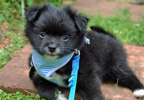 black pug mix pom a pug pomeranian pug mix info temperament puppies pictures