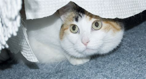 Cat Hiding Bed by Cat S New Fear Is A Mystery Dr Marty Becker