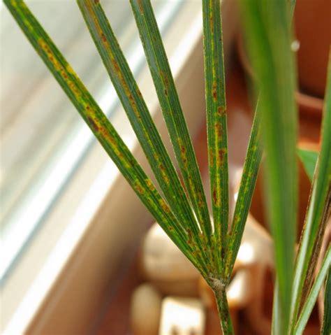 schädlinge bei zimmerpflanzen 3884 sch 228 dlinge auf zimmerpflanzen sch dlinge an