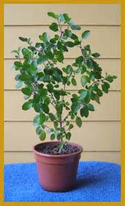 why holy tulsi is not a ordinary plant