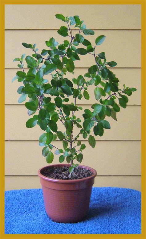 Tulsi Planter by Why Holy Tulsi Is Not A Ordinary Plant