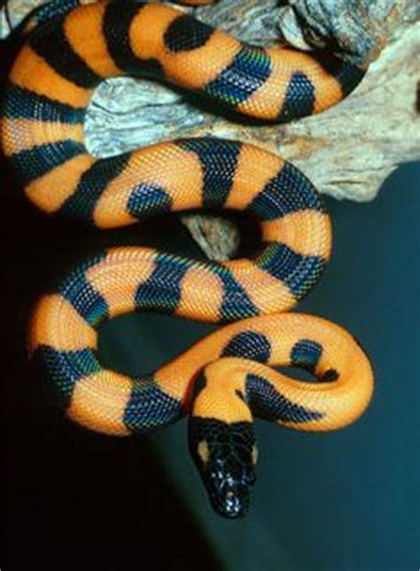 by ruth palmer piles of reptiles pinterest bright colored snake pictures bing images cool snakes