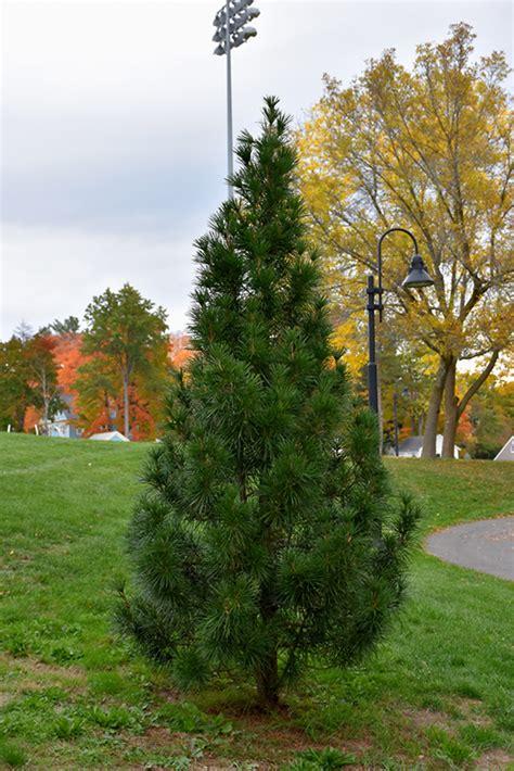wintergreen umbrella pine sciadopitys verticillata