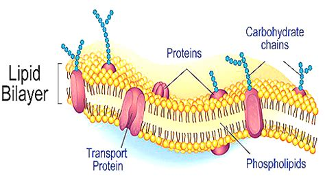 structure  functions  cell membrane plasma membrane