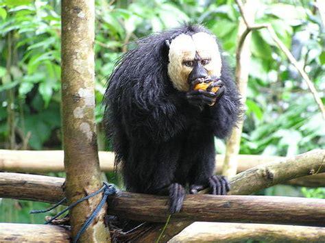 alimentazione scimmie scimmie sudamericane mangiano 50 porzioni frutta al giorno