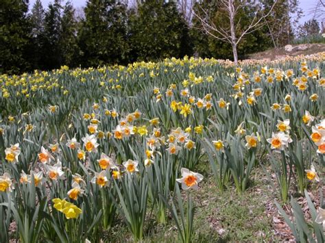 the daffodil gardens running springs ca